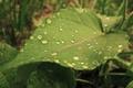 Картинка вода, капли, лист, роса, фокус, зелёный