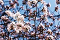 Картинка небо, ветки, вишня, дерево, весна