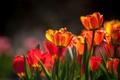 Картинка свет, тюльпаны, бутоны