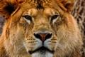 Картинка взгляд, морда, львица