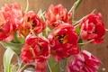 Картинка фото, Тюльпаны, Крупным планом, Красный. Цветы