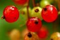 Картинка природа, ягоды, еда, смородина