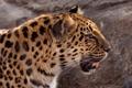 Картинка морда, © Crystal Lynn Photos, профиль, дикая кошка, амурский леопард
