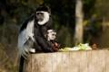 Картинка зелень, еда, обезьяны, детёныш, боке
