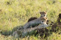 Картинка гепард, отдых, пара, семья
