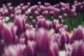 Картинка цветы, сиреневый, тюльпаны