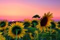 Картинка небо, листья, солнце, подсолнухи, закат, цветы, стебель
