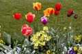 Картинка природа, сад, тюльпаны, клумба