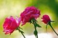 Картинка розы, лепестки, бутон, куст