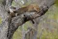 Картинка дерево, отдых, леопард, хвост, дикая кошка