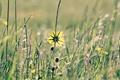Картинка цветок, лето, макро, желтый, природа, одуванчик, растения