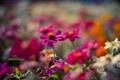 Картинка цветы, клумба, розовые, размытость