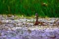 Картинка осень, болото, трава, зелень, вода, птицы, утка