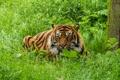 Картинка тигр, суматранский, трава, взгляд, кошка