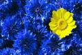 Картинка цветы, жёлтый, лепестки, синие