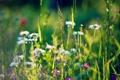 Картинка трава, ромашки, колоски, луг, полевые цветы