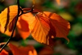 Картинка картинки, оранжевая, природа, фон, листва, ветка, макро
