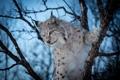 Картинка зима, лес, дерево, рысь, дикая кошка