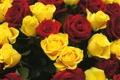 Картинка цветы, розы, красные, жёлтые