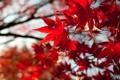 Картинка красные, листья, осень, крона, клен