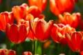 Картинка цветы, весна, лепестки, тюльпаны, бутоны, tulips