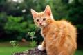 Картинка кошка, трава, кот, цветы, котенок, киска, рыжий
