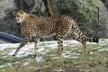 Картинка хищник, пятна, гепард, прогулка, дикая кошка