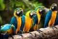 Картинка птицы, природа, попугаи, Macaws