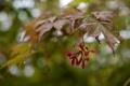 Картинка листья, капли, клен, после дождя, ветка, семена