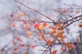 Картинка ветки, природа, туман, яблоки, яблоня