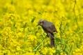 Картинка лето, природа, птица, цветение, бюль бюль