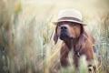 Картинка друг, пес, шляпа, поле, лето