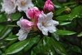 Картинка капельки, dew, росинки, droplets, бело-розовые цветы, flowering shrub, цветущий кустарник