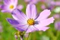 Картинка цветок, солнце, макро, красивый, космея