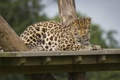 Картинка отдых, хищник, пятна, леопард, дикая кошка, зоопарк