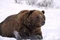 Картинка взгляд, снег, отдых, Аляска, Медведь, наблюдение