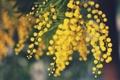 Картинка цветы, желтые, мимоза