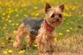 Картинка лето, природа, собака, Yorkshire Terrier