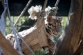 Картинка морда, отдых, хищник, дикая кошка, зоопарк, дымчатый леопард