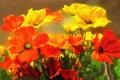 Картинка цветы, маки, букет, красные, жёлтые