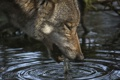 Картинка природа, вода, волк