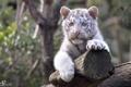 Картинка отдых, лапы, малыш, мордочка, детёныш, котёнок, белый тигр