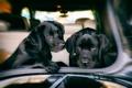 Картинка машина, собаки, друзья