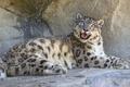 Картинка кошка, взгляд, камень, ирбис, снежный барс, ©Tambako The Jaguar