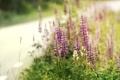 Картинка дорога, лето, поляна, растения, цветение, листики, Люпины