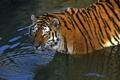 Картинка кошка, взгляд, вода, тигр, купание, водоём, амурский