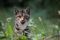 Картинка кот, усы, взгляд, полоски, колоски, облизывается