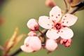 Картинка цветок, макро, вишня, веточка, нежность, цвет, весна