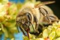 Картинка цветы, пчела, насекомое, боке