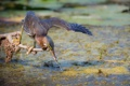 Картинка болото, птица, рыбка, клюв, ветка